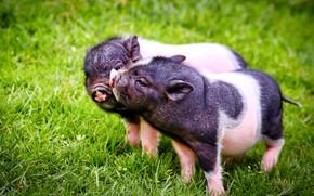 Картинка трава, парочка, поросята, свинки, два поросёнка