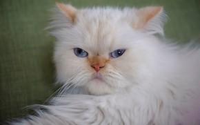 Картинка кот, взгляд, портрет, пушистый, мордочка, голубые глаза, котейка, Гималайская кошка
