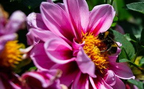 Картинка цветок, лето, лепестки, шмель