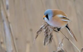 Картинка природа, птица, усатая синица