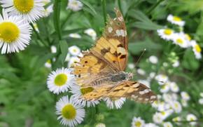 Картинка Цветы, Бабочка, Листья, Стебли, Мелколепёстник однолетний