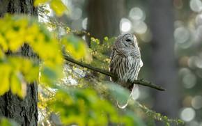 Картинка взгляд, свет, ветки, дерево, сова, птица, листва, хвоя, боке, неясыть