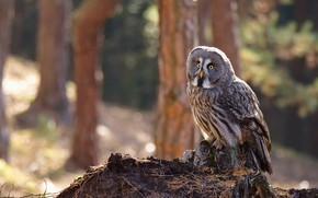 Картинка осень, лес, взгляд, свет, деревья, иголки, фон, сова, птица, стволы, пень, склон, сосны, серая, сидит, …