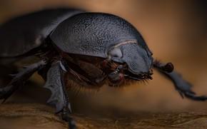 Картинка макро, насекомое, Oryctes sp