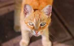 Картинка кот, взгляд, фон, рыжий