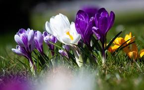 Картинка цветок, цветение, природы, флора, цвести, весна крокус
