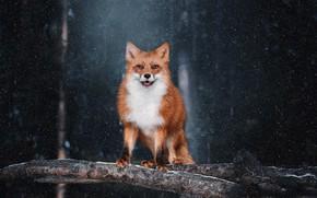 Картинка взгляд, снег, фон, лиса, рыжая, Наталия Поникарова