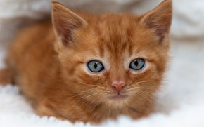 Картинка кошка, котенок, портрет, рыжий, мордочка, голубоглазый