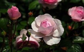 Картинка цветок, листья, темный фон, розовая, роза, сад, бутон, белая, розовый куст
