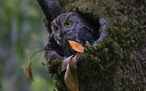 Картинка осень, взгляд, дерево, сова, листок, дупло