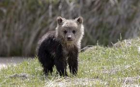 Картинка лето, природа, медвежонок