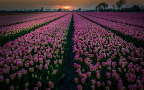 Картинка поле, закат, цветы, тюльпаны, Нидерланды, плантация