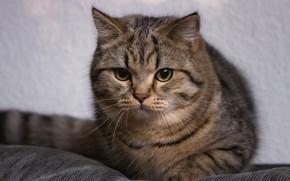 Картинка кошка, кот, взгляд, котенок, серый, портрет, хвост, милый, лежит, котёнок, серый фон, мордашка, подросток, полсоатый