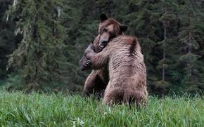 Картинка лес, трава, природа, поза, поляна, игра, борьба, ели, медведь, медведи, драка, пара, мишки, два, стойка, …