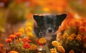 Картинка взгляд, цветы, собака, мордашка, боке, пёсик, бархатцы