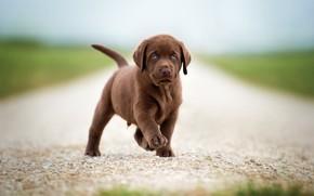 Картинка дорога, поле, взгляд, поза, собака, малыш, милый, щенок, прогулка, коричневый, шоколадный, ретривер, лапка