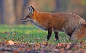 Картинка осень, трава, взгляд, морда, листья, поза, фон, поляна, лиса, хвост, профиль, рыжая, лисица