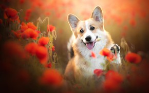 Картинка язык, цветы, маки, собака, мордашка, боке, пёсик, лапка, Вельш-корги