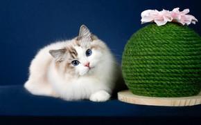Картинка кошка, цветок, кот, взгляд, поза, фон, мордочка, фотостудия, рэгдолл