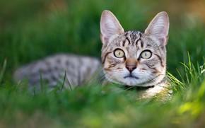 Картинка кошка, трава, котенок, портрет, котёнок, мордашка