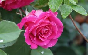 Картинка листья, капли, макро, роза, лепестки