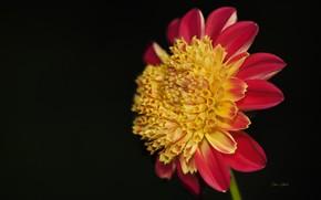 Обои цветок, фон, чёрный фон, георгина