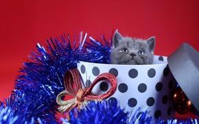 Картинка украшения, коробка, подарок, новый год, котёнок, мишура, бант, красный фон, британский