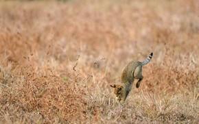 Картинка Индия, охота, камышовый кот, болотная рысь