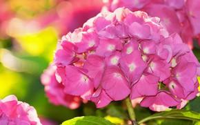 Картинка свет, цветы, яркий, фон, розовая, лепестки, цветущая, боке, гортензия, соцветие