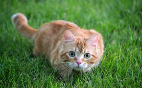 Картинка кошка, лето, трава, кот, взгляд, морда, природа, поза, фон, поляна, портрет, рыжий, охотник, котя