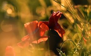 Картинка цветы, фон, маки, красные, дуэт, алые