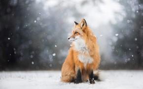 Обои зима, лес, взгляд, свет, снег, природа, поза, фон, лиса, профиль, рыжая, сидит, снегопад, лисица