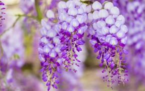 Картинка макро, цветы, ветки, природа, фон, цвет, красота, весна, цветение, каскад, сиреневая, красивые, соцветия, сиреневые, цветущая, …