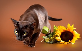 Картинка кошка, кот, взгляд, поза, подсолнух, коричневый фон, сиамский