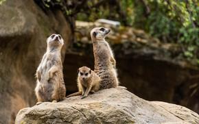 Картинка фото, Сурикат, Животные, Трое