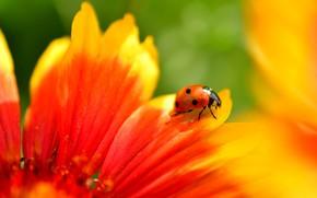 Картинка цветок, лето, макро, красный, фон, божья коровка, жук, лепестки, насекомое