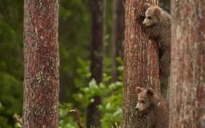 Картинка деревья, медвежата, троица, три медведя