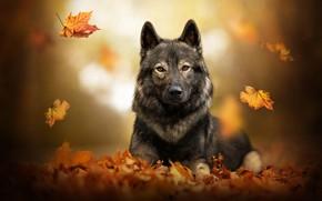 Картинка осень, листья, собака, листопад