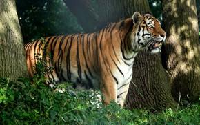 Картинка лес, тигр, дерево, профиль