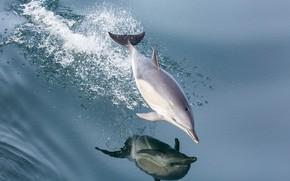 Картинка вода, брызги, дельфин, отражение, прыжок