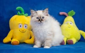 Картинка белый, взгляд, поза, котенок, фон, игрушки, желтые, малыш, мордочка, ткань, котёнок, сидит, синий фон, мягкие, …