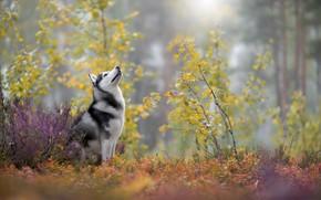 Картинка осень, хаски, порода