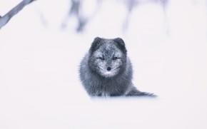 Картинка зима, взгляд, морда, снег, природа, поза, серый, дерево, сугробы, белый фон, прогулка, боке