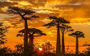 Картинка закат, баобаб, Мадагаскар