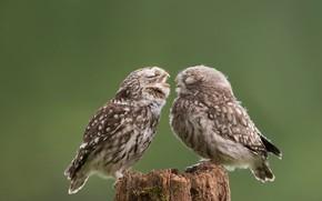 Картинка птицы, сова, детёныш