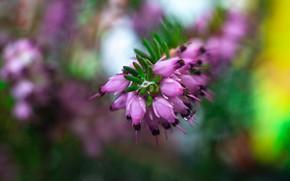 Картинка макро, цветы, фон, размытие, весна, розовые, вереск