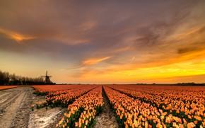 Картинка дорога, поле, небо, облака, свет, деревья, закат, цветы, красота, весна, вечер, горизонт, мельница, тюльпаны, грядки, …