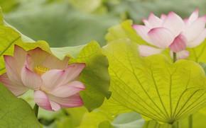 Картинка листья, природа, лепестки, лотос