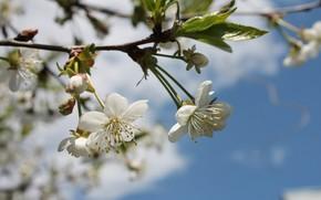 Картинка солнце, цветы, тепло, весна, май, цветение, белые цветы, голубое небо