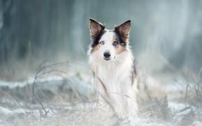 Картинка зима, иней, лес, трава, взгляд, морда, природа, парк, фон, портрет, собака, светлый, белая, овчарка, размытый, ...